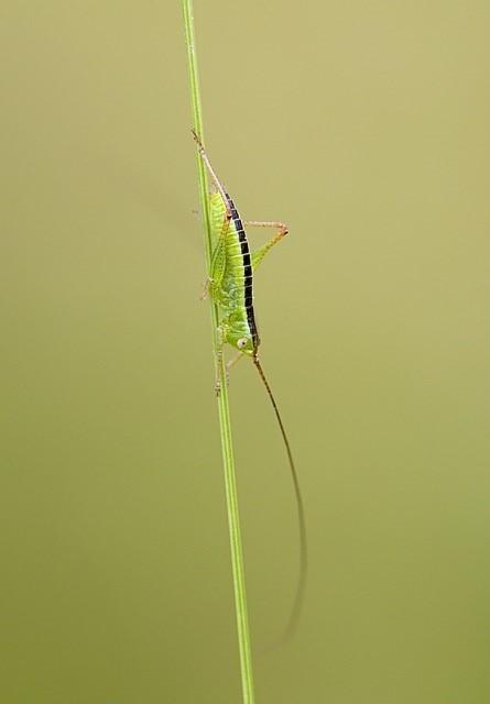 Conocephalus sp. (nymph), Woodside Nurseries, Austerfield.
