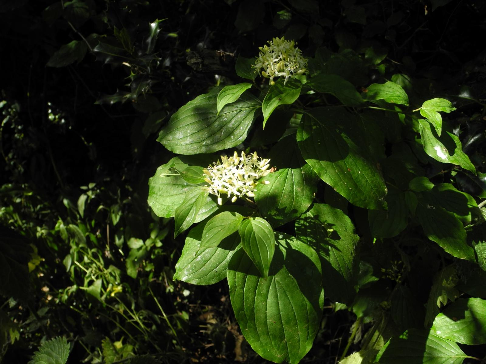 Common Dogwood (Cornus sanguinea), Lindrick Common, Yorkshire.