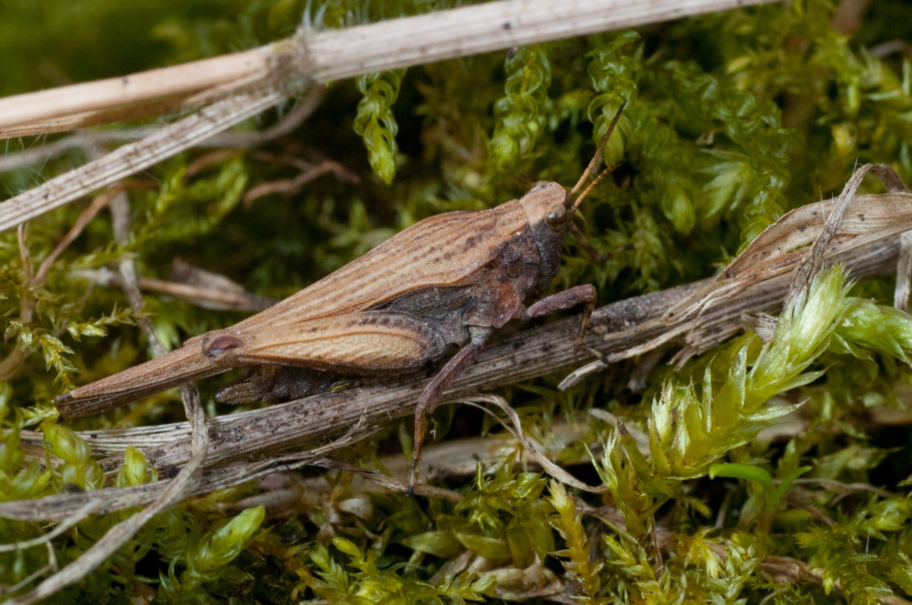 Tetrix undulata - Common Groundhopper , Anston Stones Wood