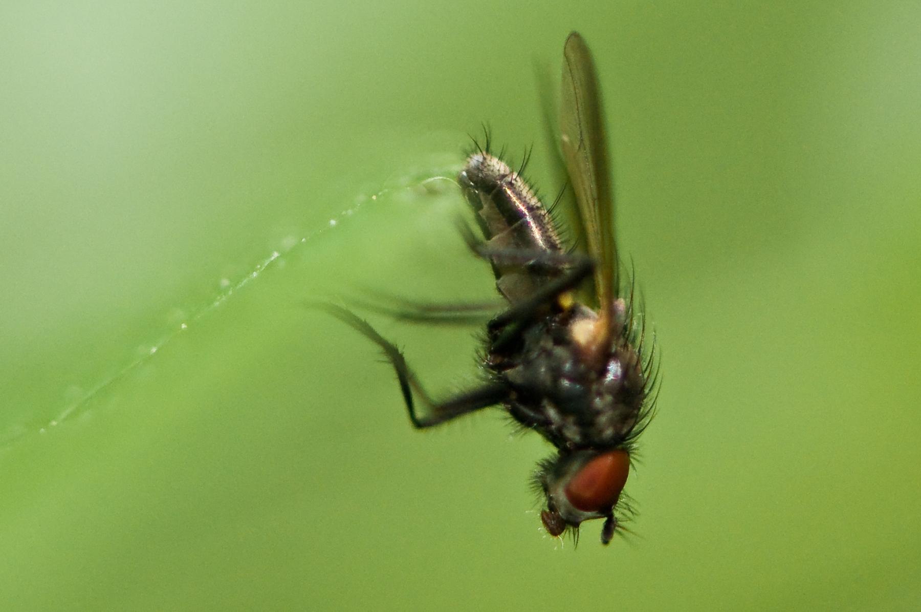 Anthomyiid Fly - Botanophila fugax, Sherwood Forest, Notts