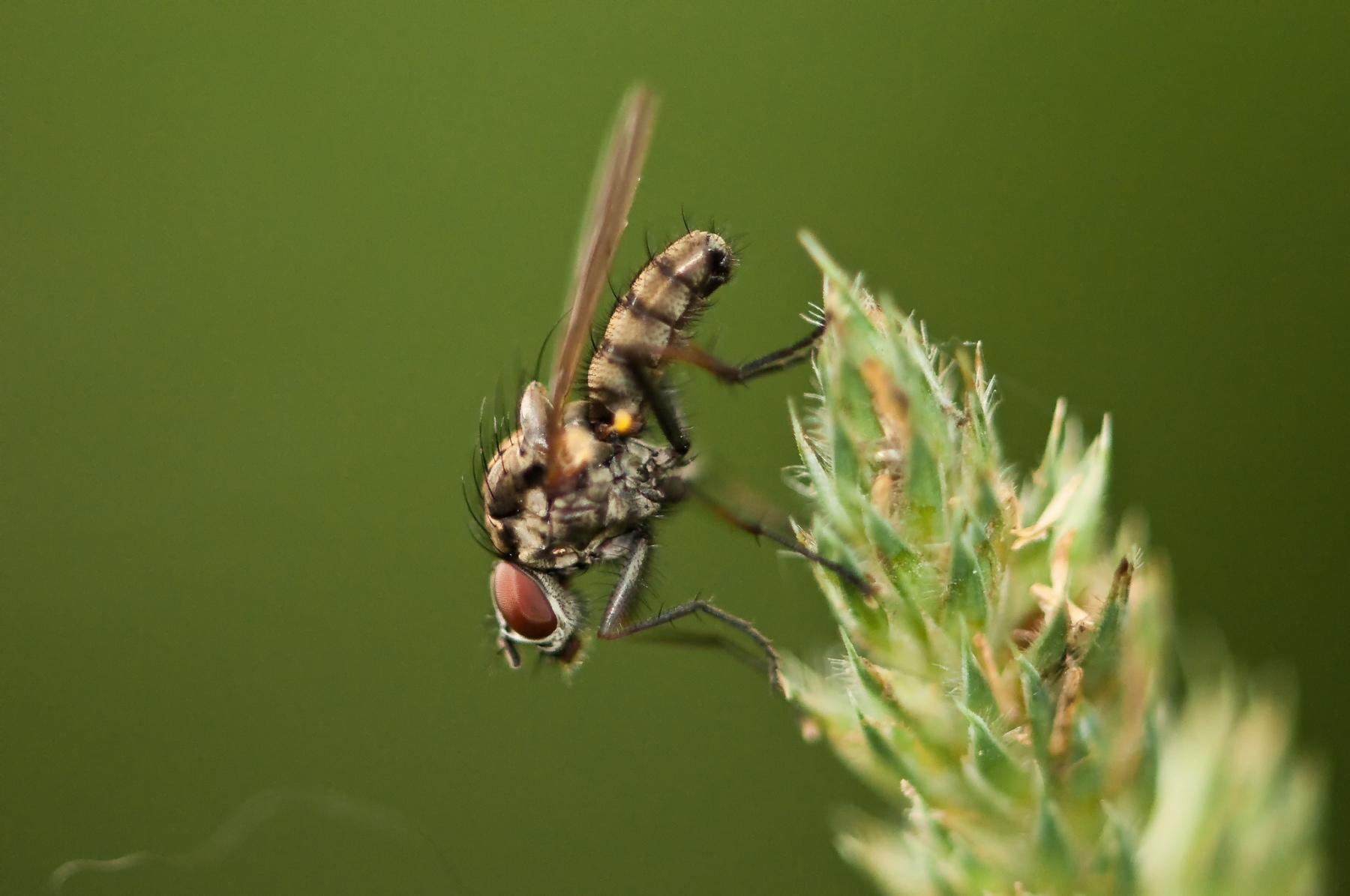 Anthomyiid Fly - Hylemya vagans, Sherwood Forest, Notts