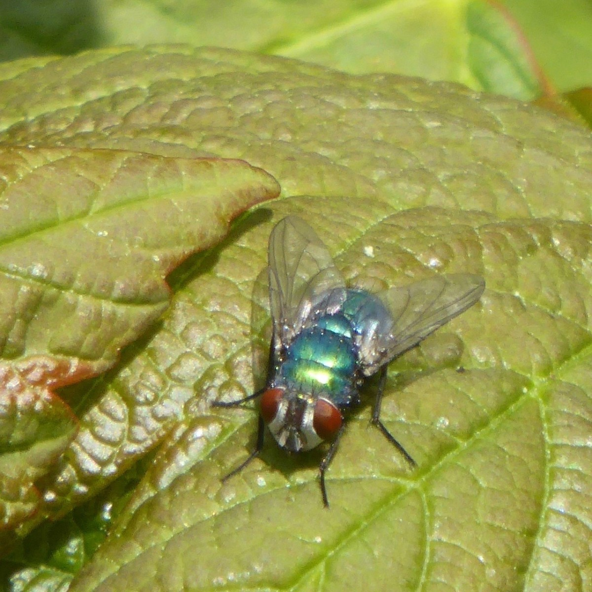 Lucila sericata - Greenbottle.