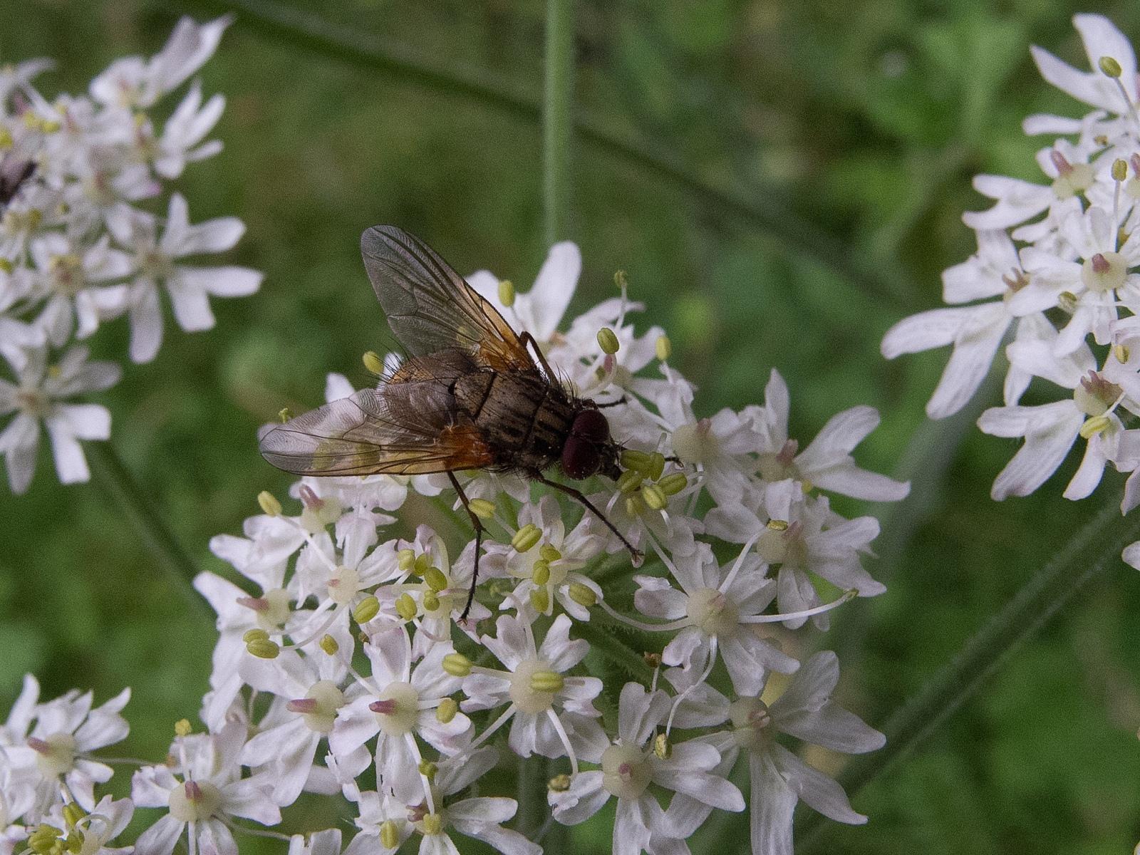 Hebecnema niga (female), Whitwell