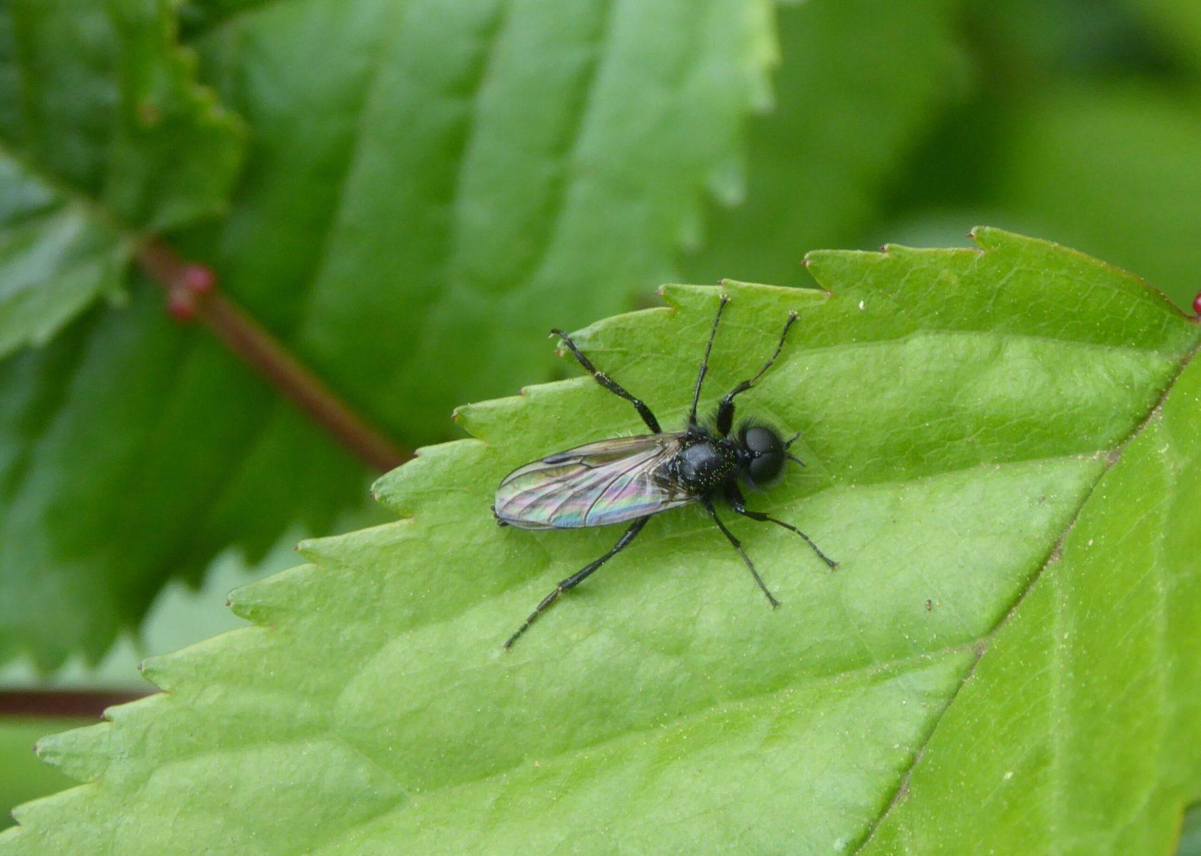 Bibio marci - St Mark's Fly (male)