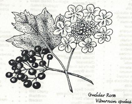 Guilder Rose - Viburnum opulus