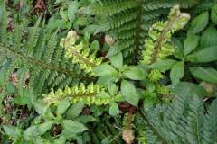 Soft shield fern (Polystichum setiferum), Norwood Wood