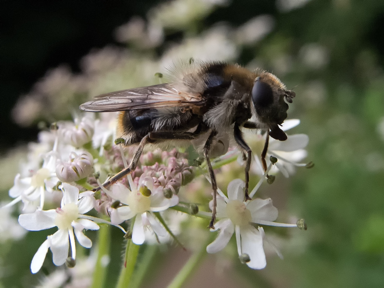 Cheilosia illustrata, Whitwell Wood, Derbyshire