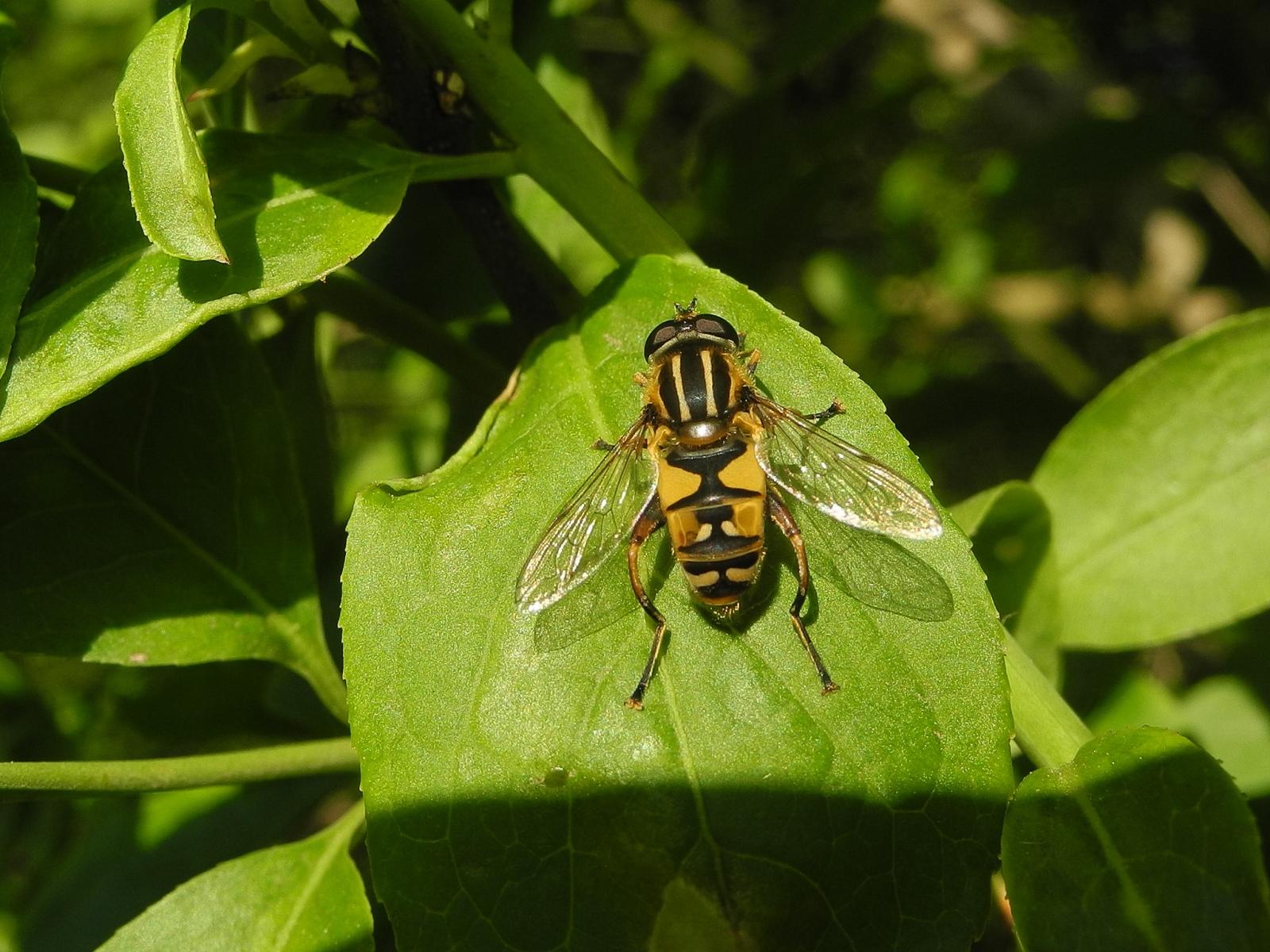 Helophilus pendulus- Hoverfly, Laughton Wood