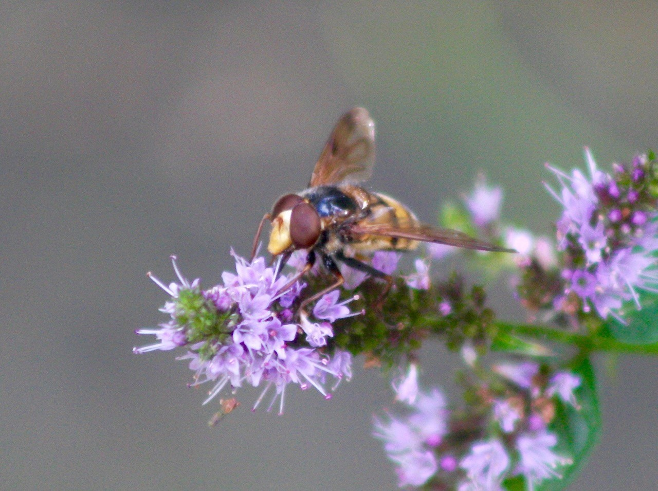 Volucella zonaria - Hornet Hoverfly, On mint in garden