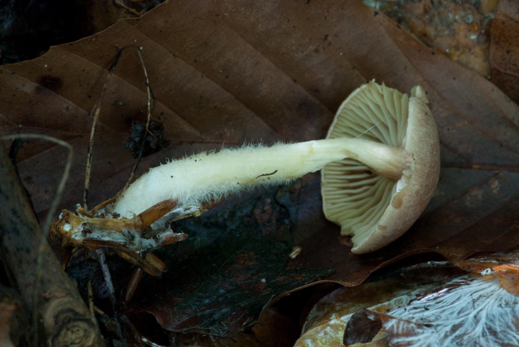 Gymnopus-peronatus-Wood-Woollyfoot-2072