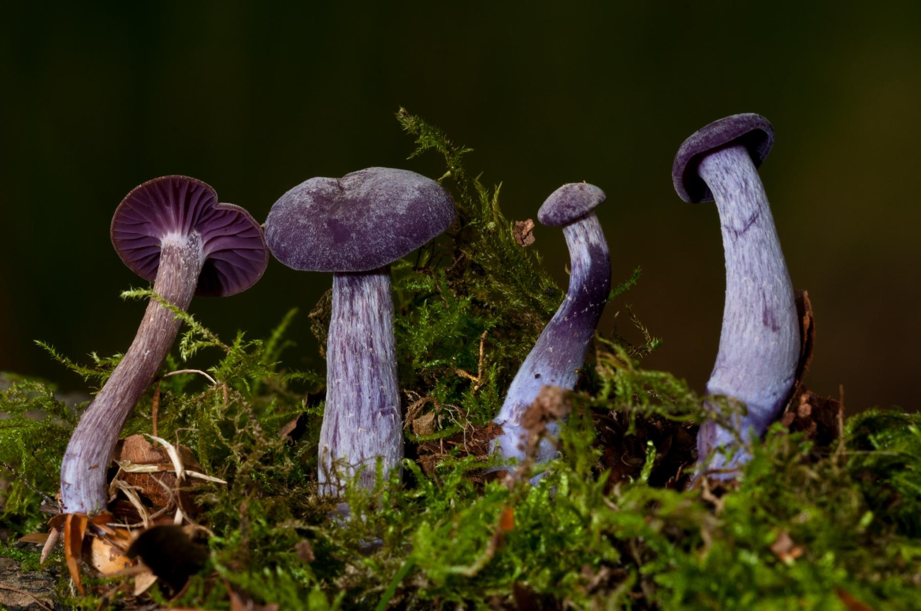 Laccaria amethystina - Amethyst Deceiver, Longshaw NT, Derbyshire.
