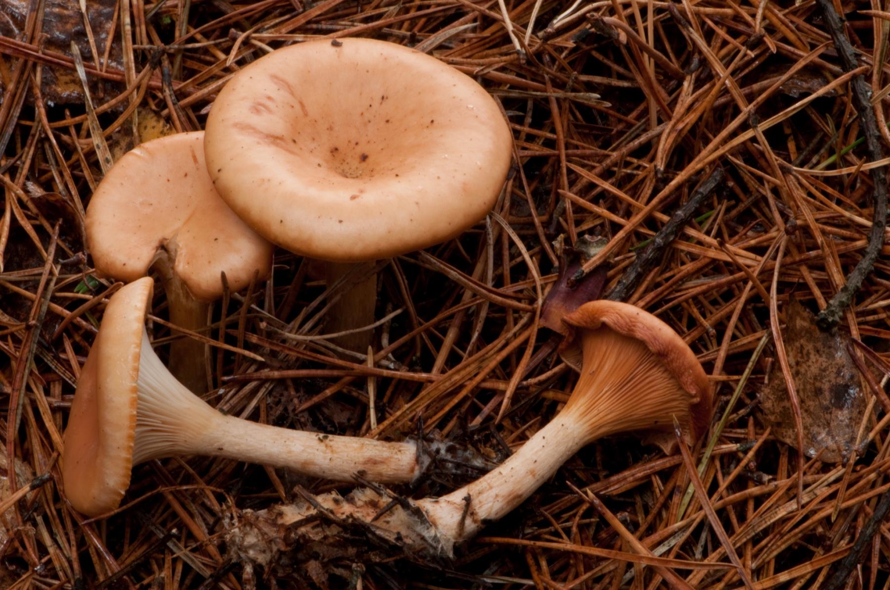 Lepista flaccida - Tawney Funnel, Sherwood Pines, Notts.