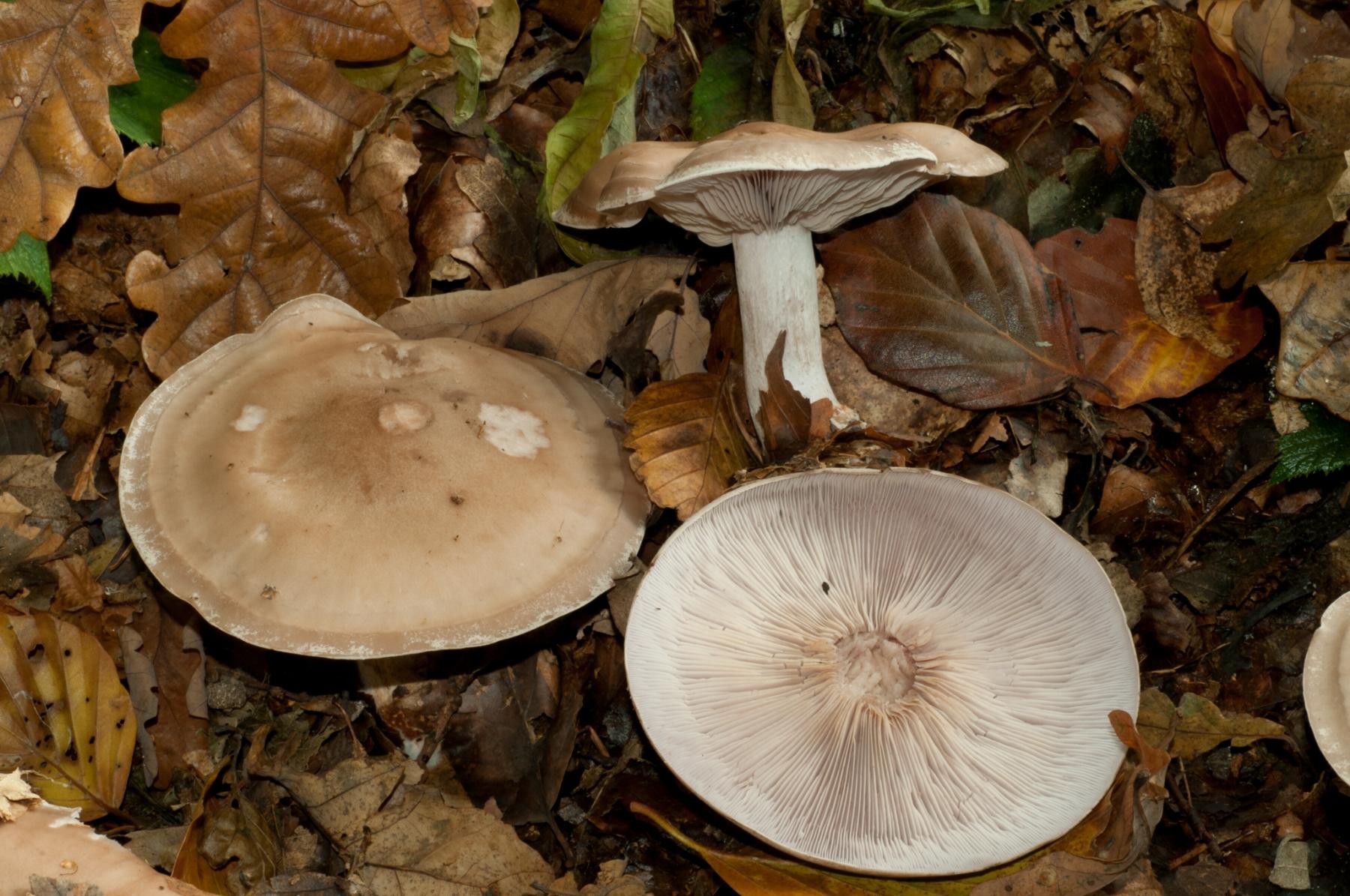 Lepista saeva - Field Blewit (Blue Leg), Wadsley & Loxley Common.