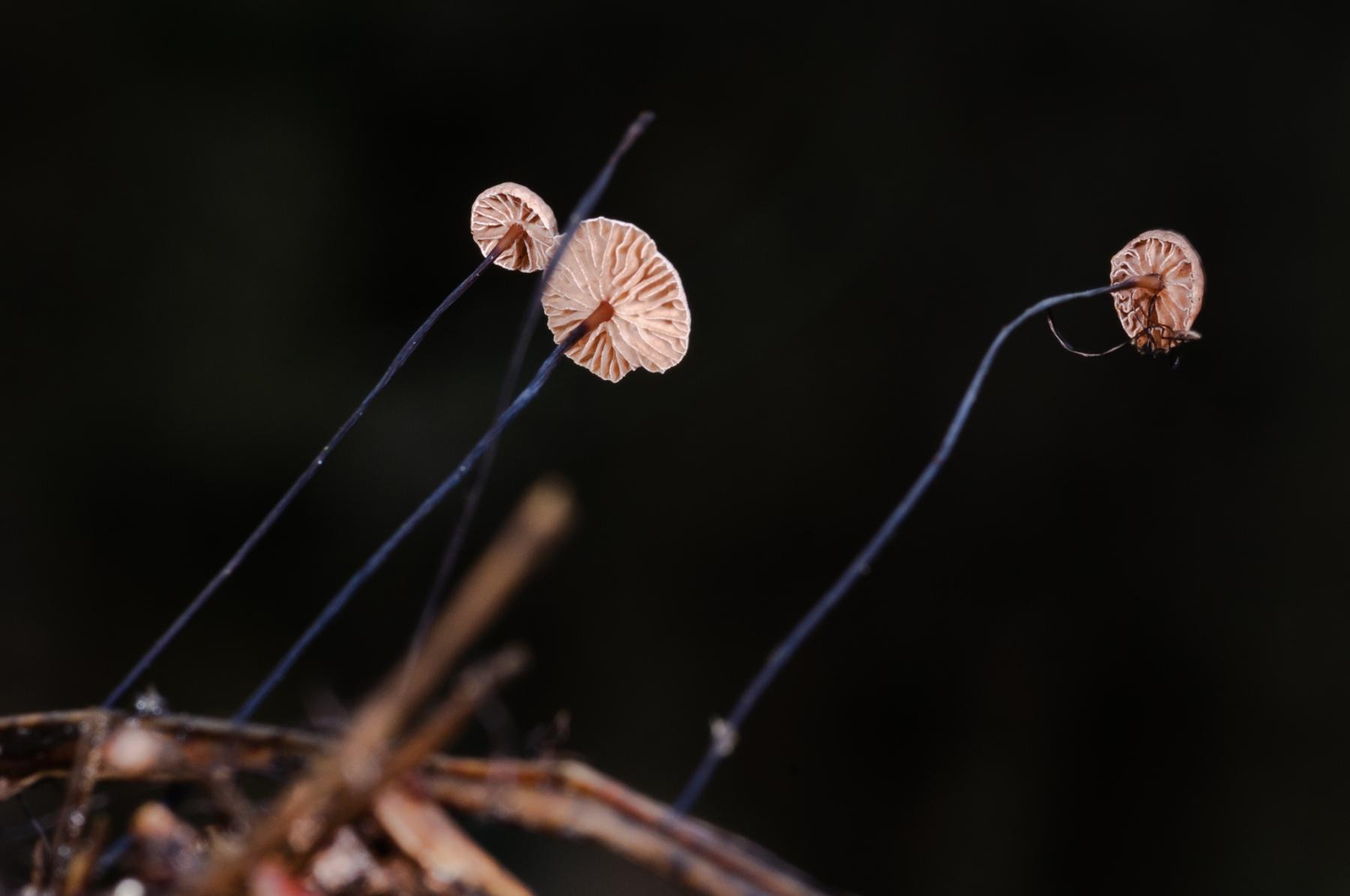 Marasmius androsaceus - Horsehair Parachute, Sherwood Pines, Notts.