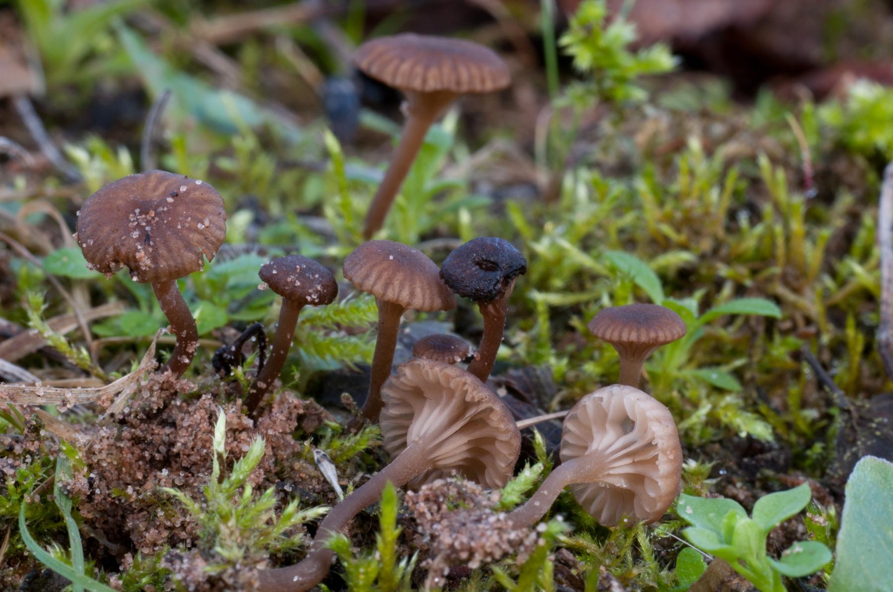 Omphalina griseiphallida, Lound, Notts.