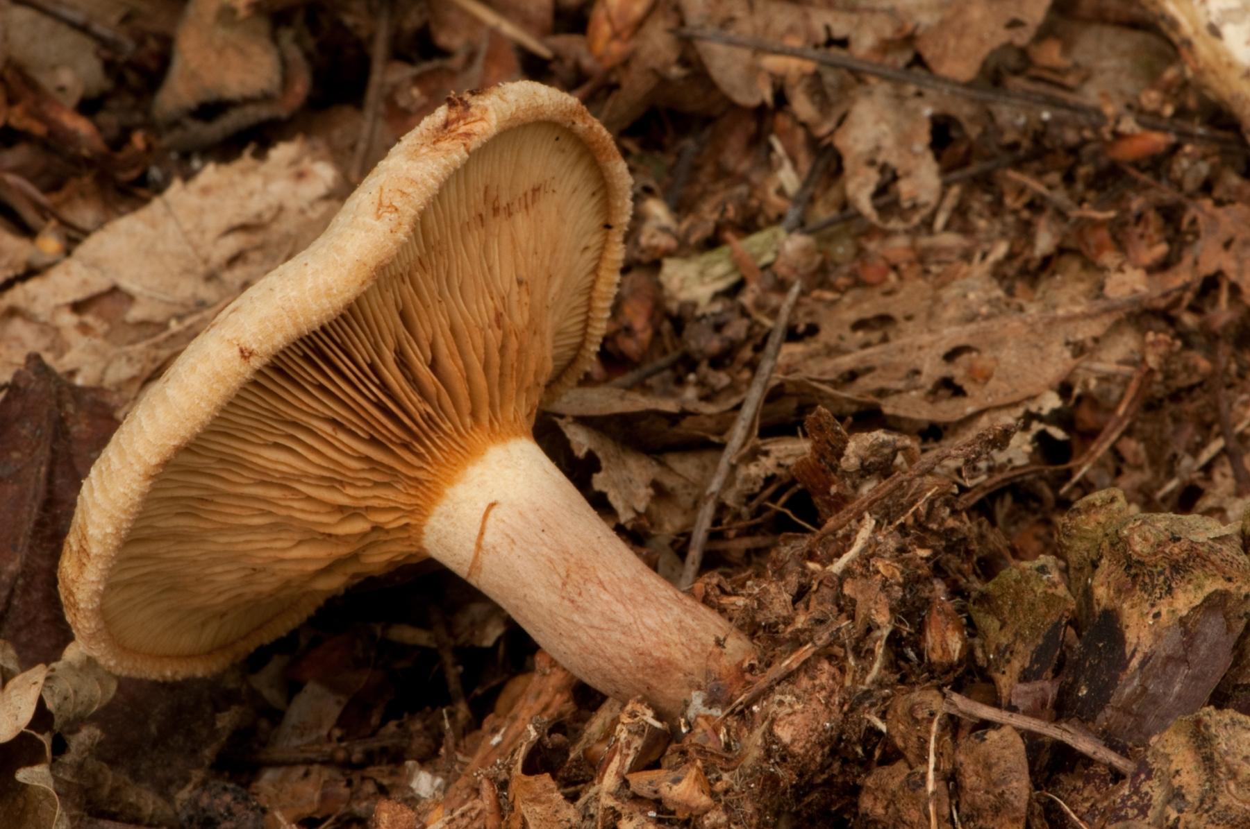Paxillus involutus - Brown Rollrim, Clumber Park, Notts.