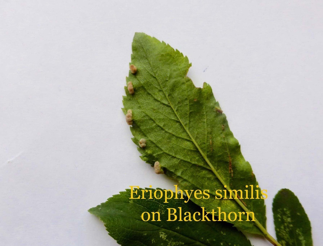 Eriophyes similis (mite) on Blackthorn, Sandal Beat Wood