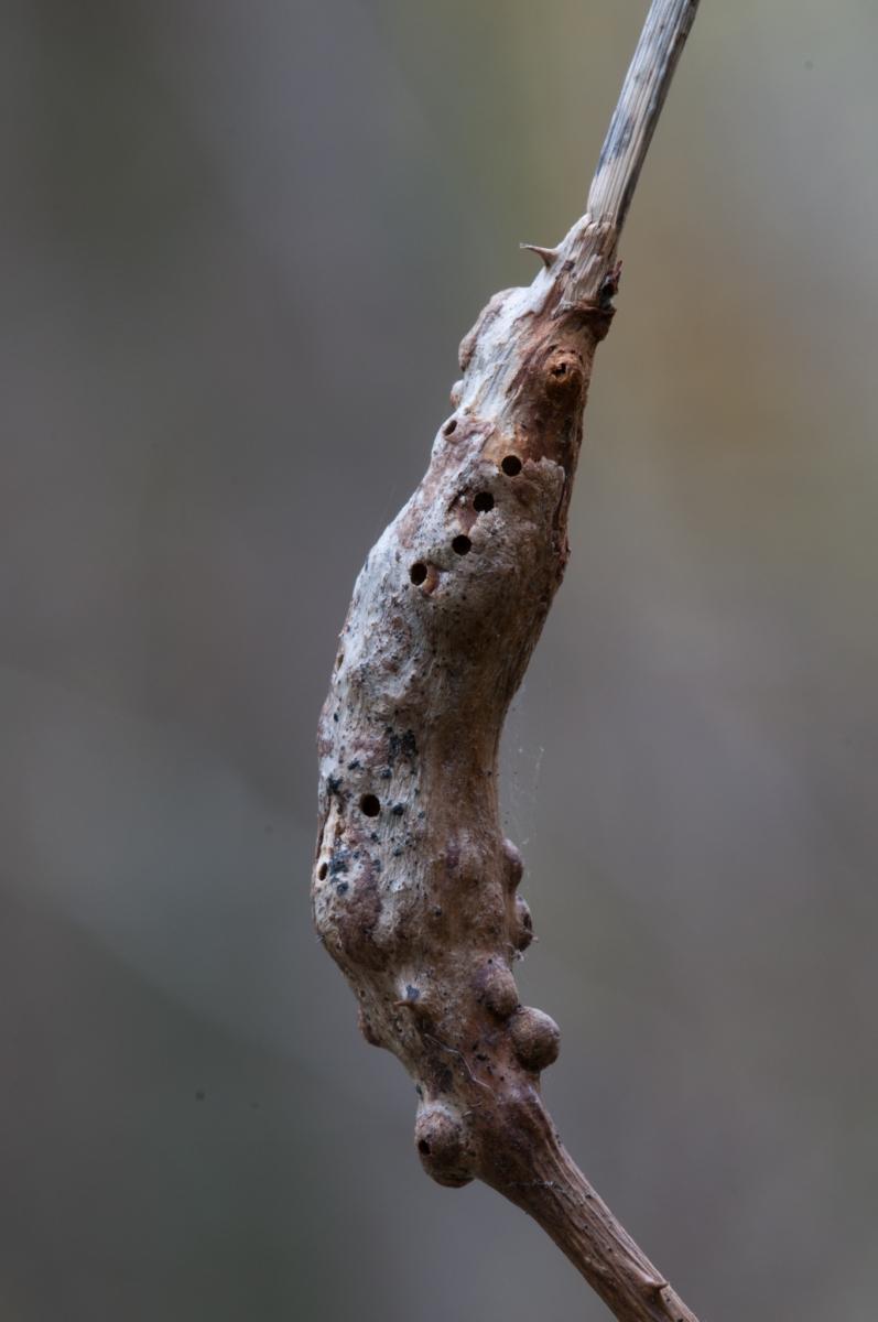 Diastrophus rubi on Bramble, Sprotborough NR.