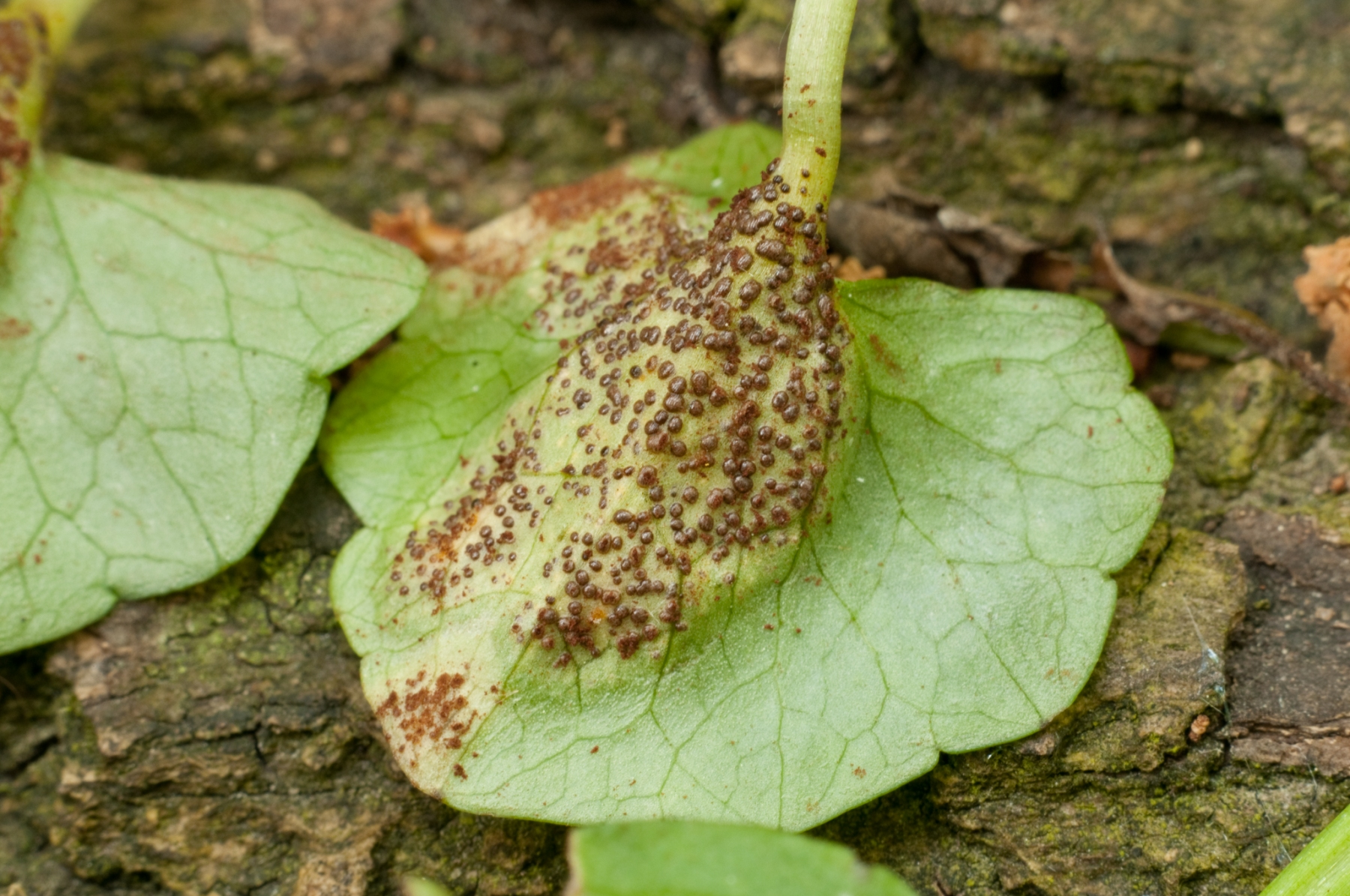 Uromyces ficariae - Bitter Chocolate Rust, Anston Stones Wood.