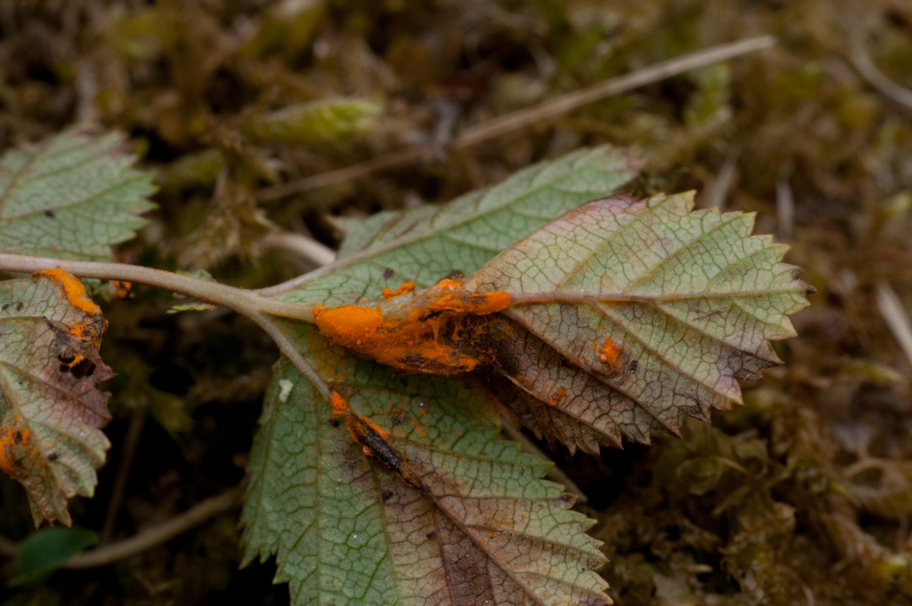 Triphragmium ulmariae on Meadowsweet, Anston Stones Wood.