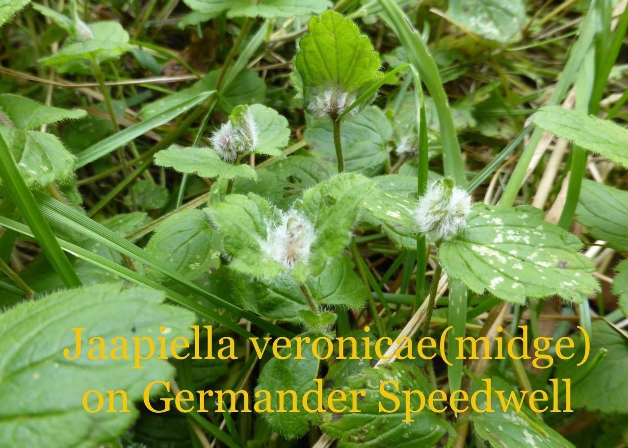 Jaapiella veronicae on Germander Speedwell.