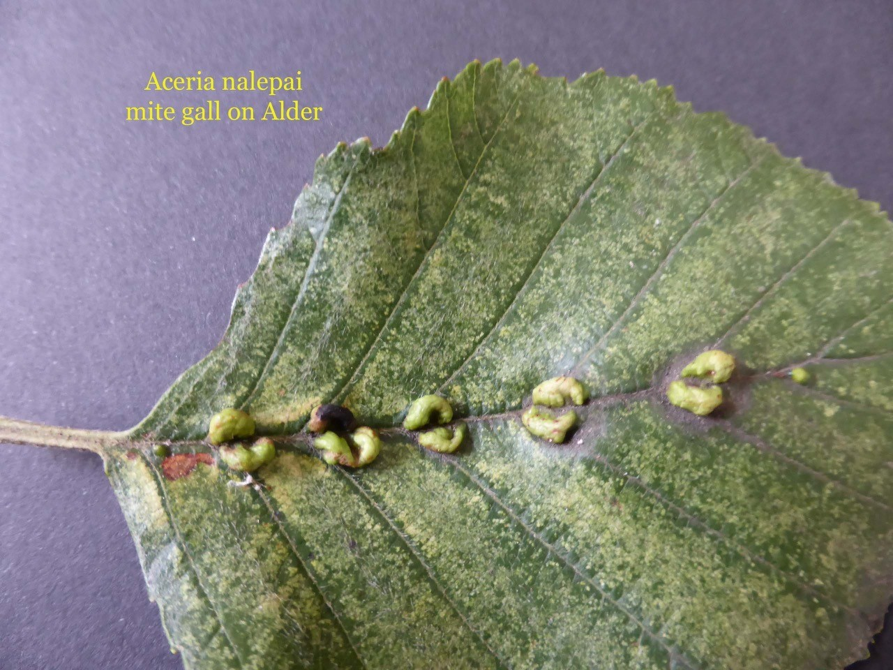 Aceria nalepai mite gall on Alder