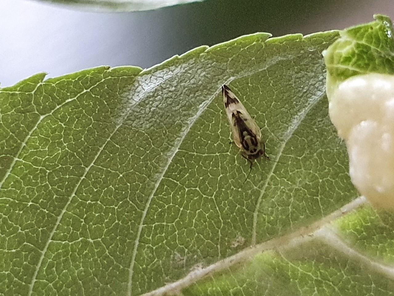 Psyllopsis fraxini on Ash, Doncaster