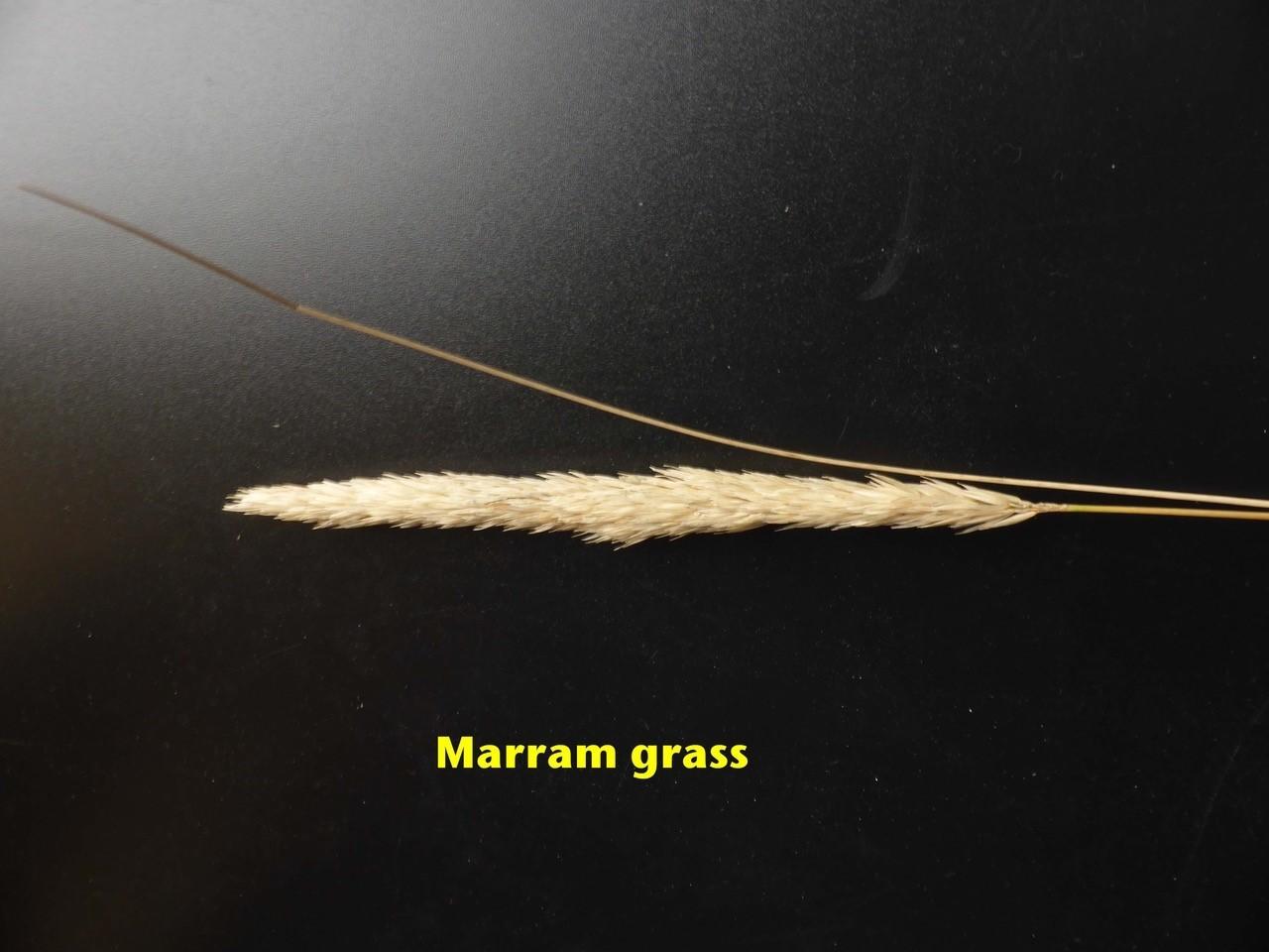 Marram Grass (Ammophila arenaria), Spurn Point