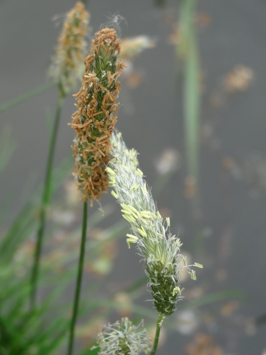 Meadow Foxtail (Alopecurus pratensis), Upton Country Park
