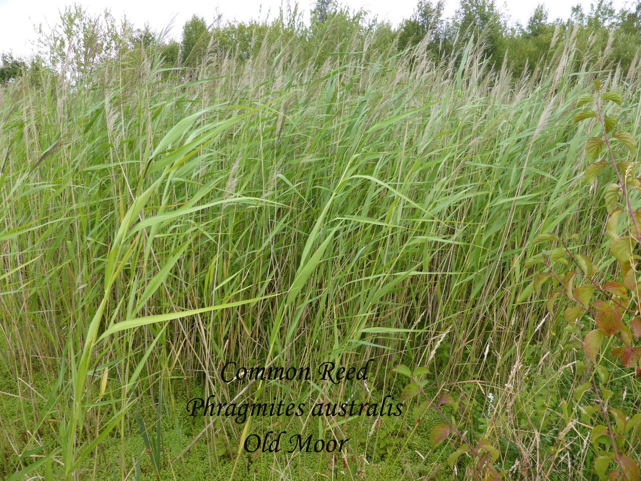 Common Reed, Old Moor