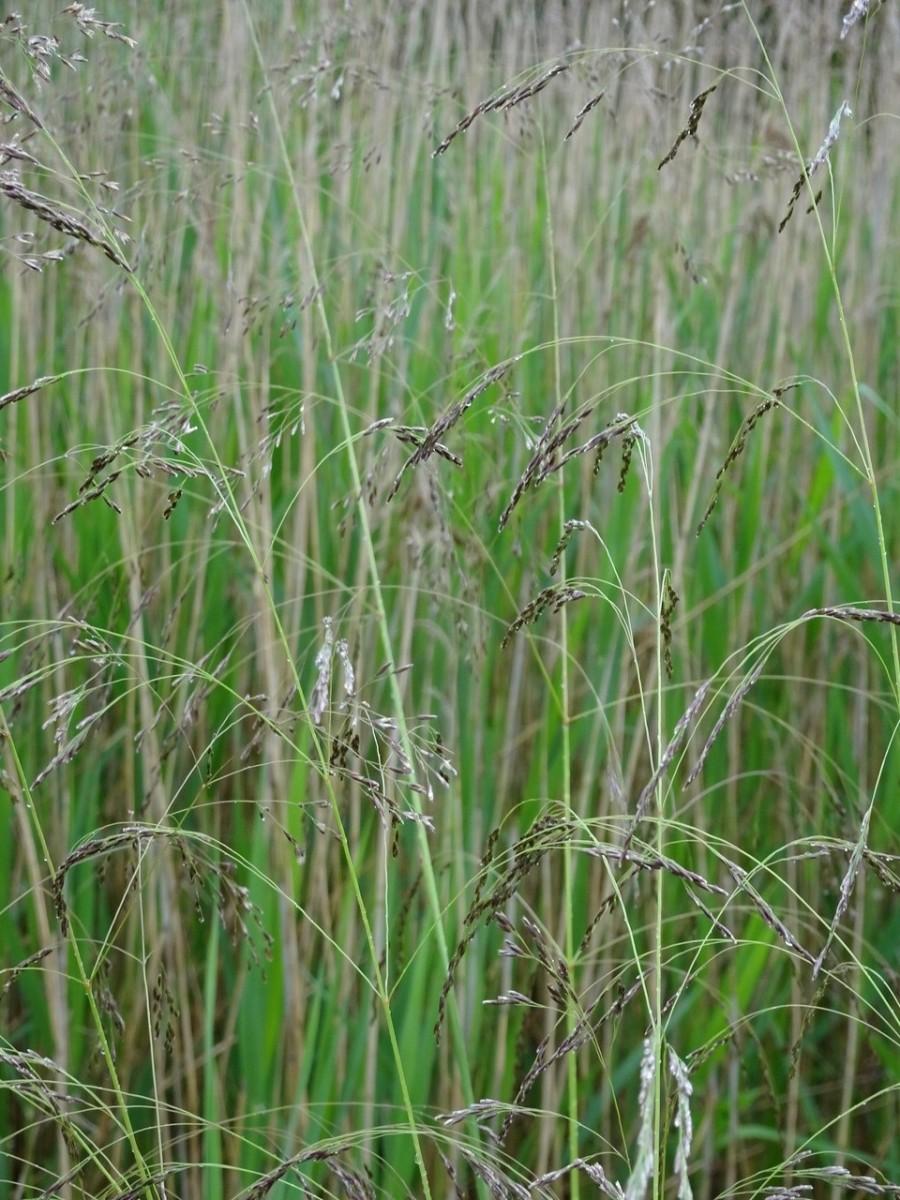 Tufted Hair Grass (Deschampsia caespitosa), Old Moor