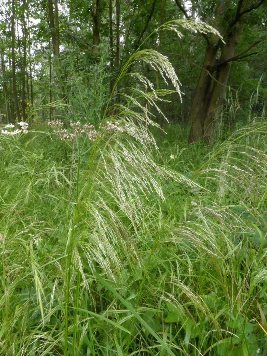 Wavy Hair grass (Deschampsia flexuosa), Location unkown