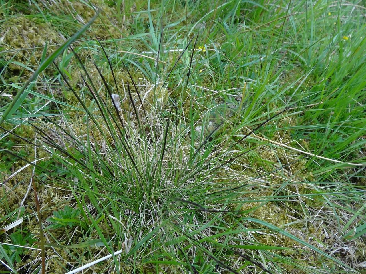 Mat-grass (Nardus sticta), Shropshire