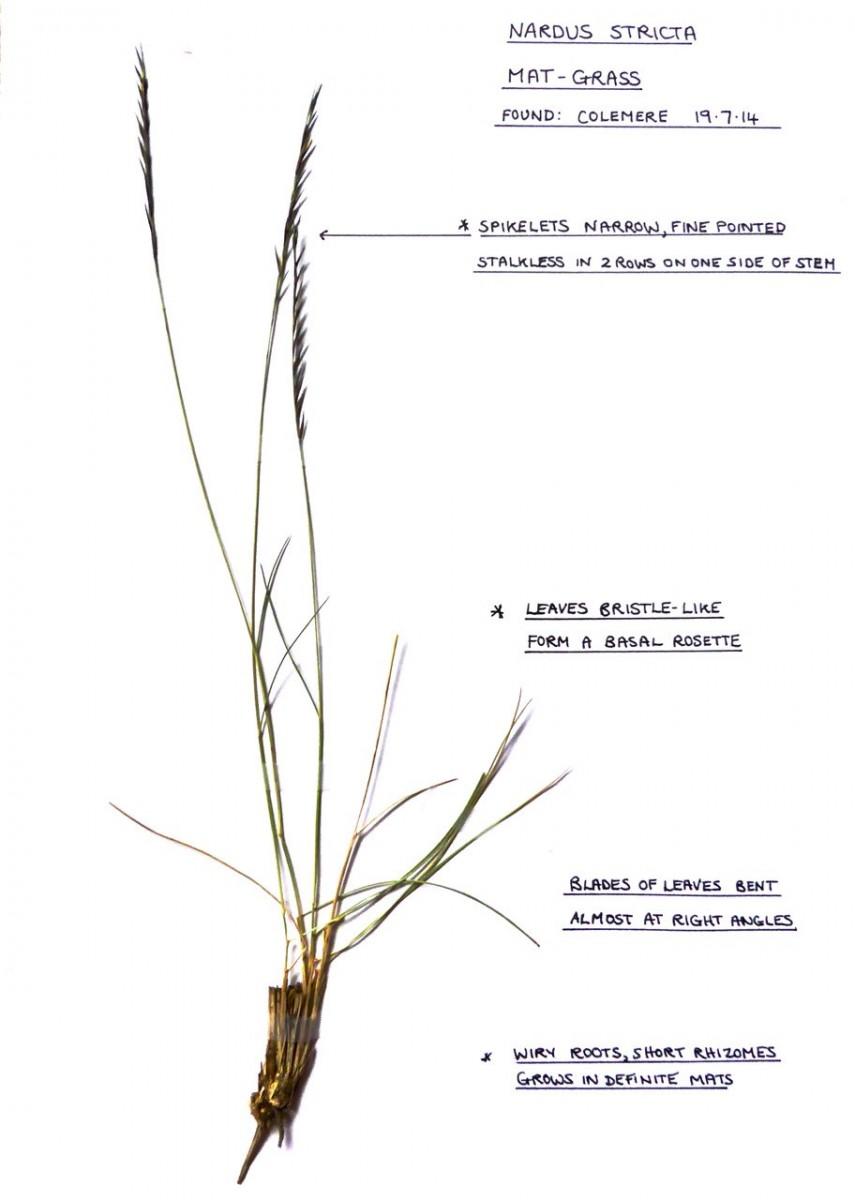 Mat grass (Nardus stricta), Colemere ,Shropshire