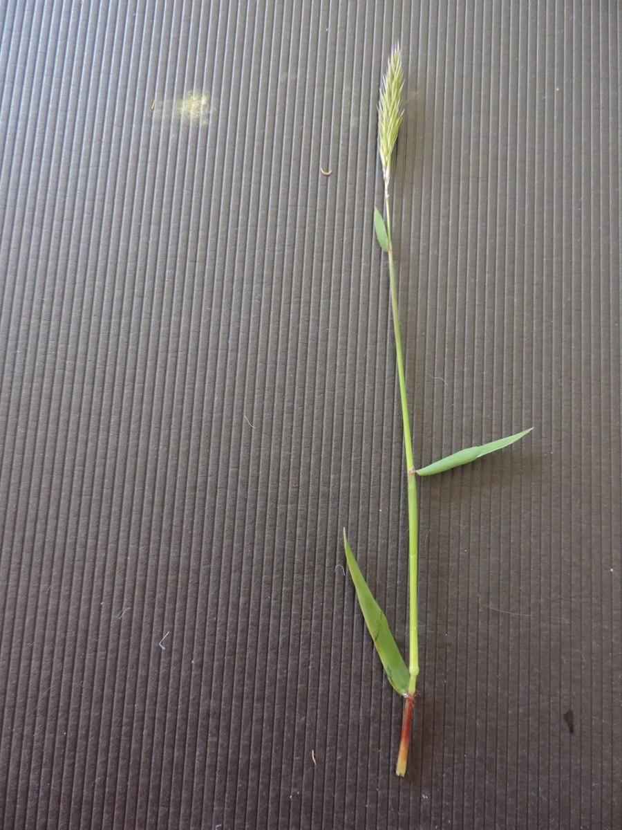 Sweet Vernal grass (Anthoxathum odoratum), Old Moor