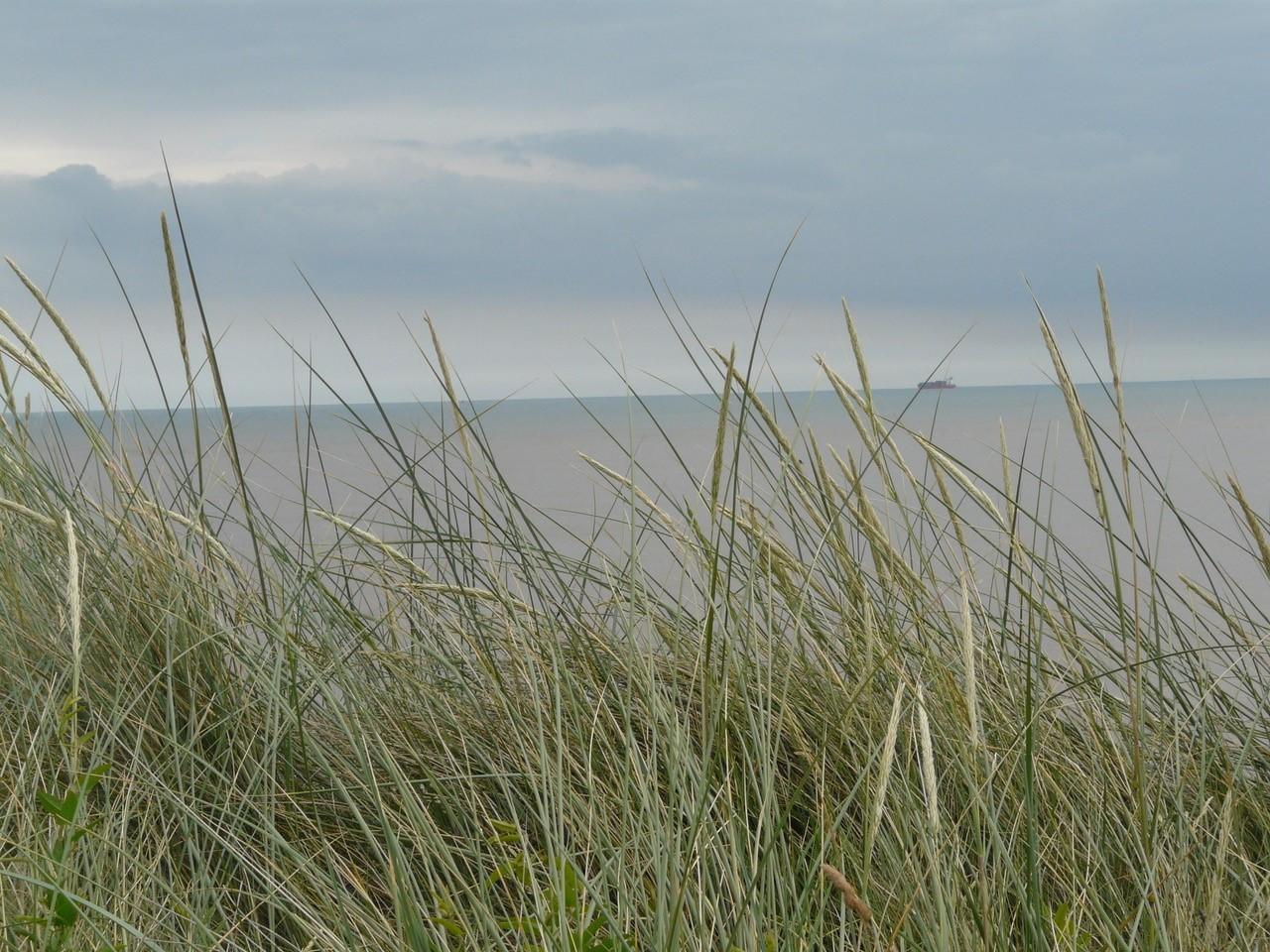 Lyme Grass (Leymus arenarius), Spurn