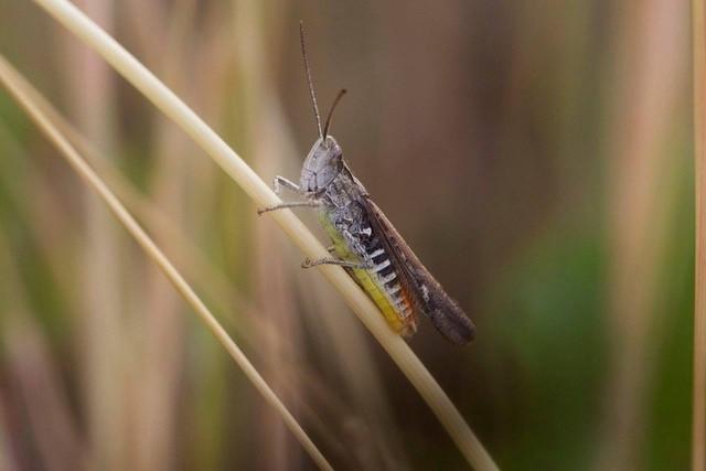 Omocestus viridulus, - Common Green Grasshopper,  Woodside Nurseries, Austerfield.