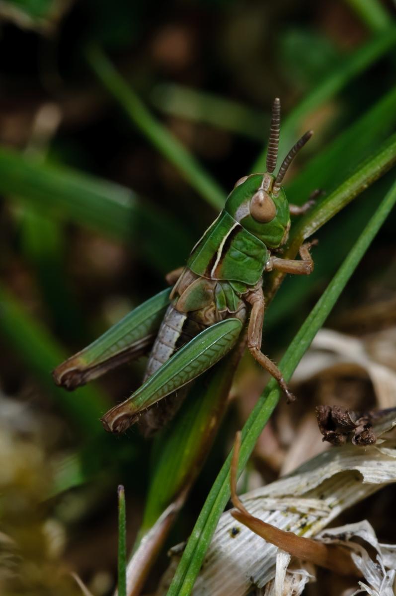 Omocestus viridulus - Common Green Grasshopper , NT Longshaw