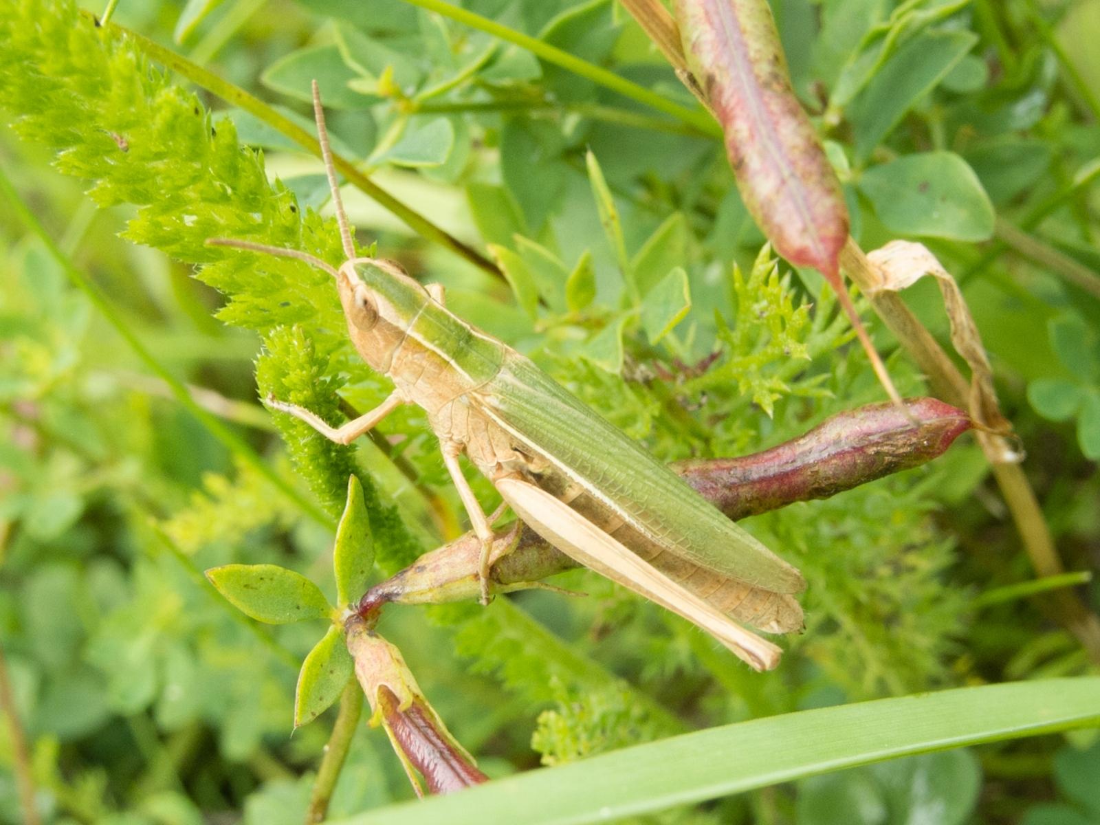Chorthippus albomarginatus - Lesser Marsh Grasshopper, Danes Hill NR