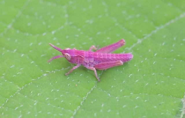 Chorthippus parallelus - Meadow Grasshopper, (nymph showing erythrism), Woodside Nurseries, Austerfield.