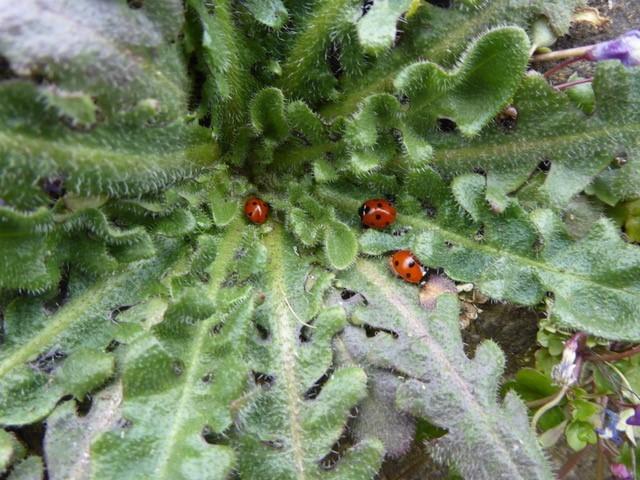 7 Spot Ladybirds