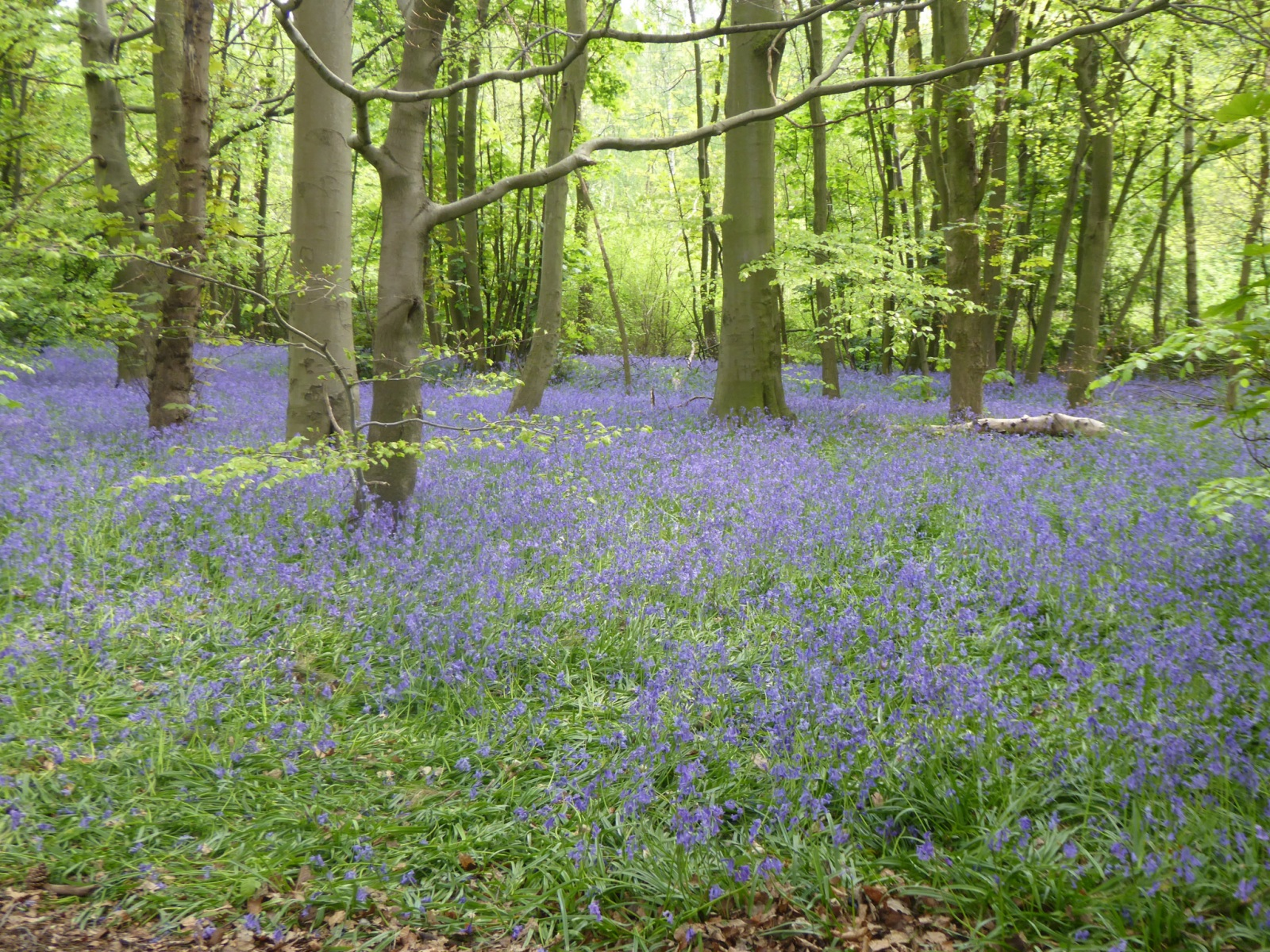 Bluebells in Hagg Wood 2