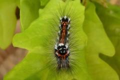Yellow-tail moth  Euproctis similis 2