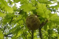 Oak Apples gall