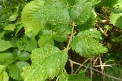 Aceria campestricola