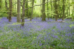 Bluebells in Hagg Wood 2