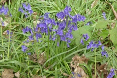 Bluebells in Hagg Wood 3
