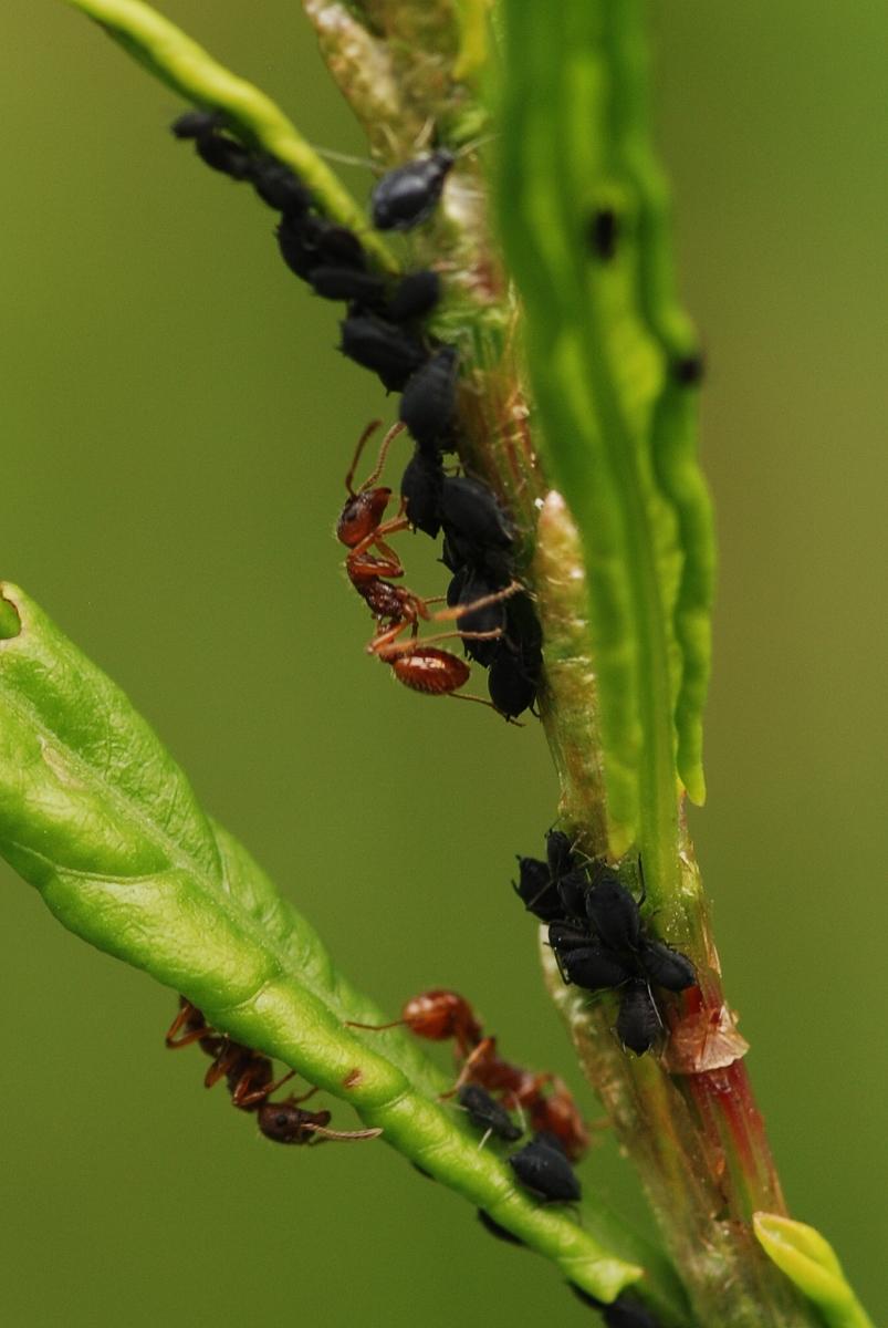 Myrmica rubra farming Aphis fabae