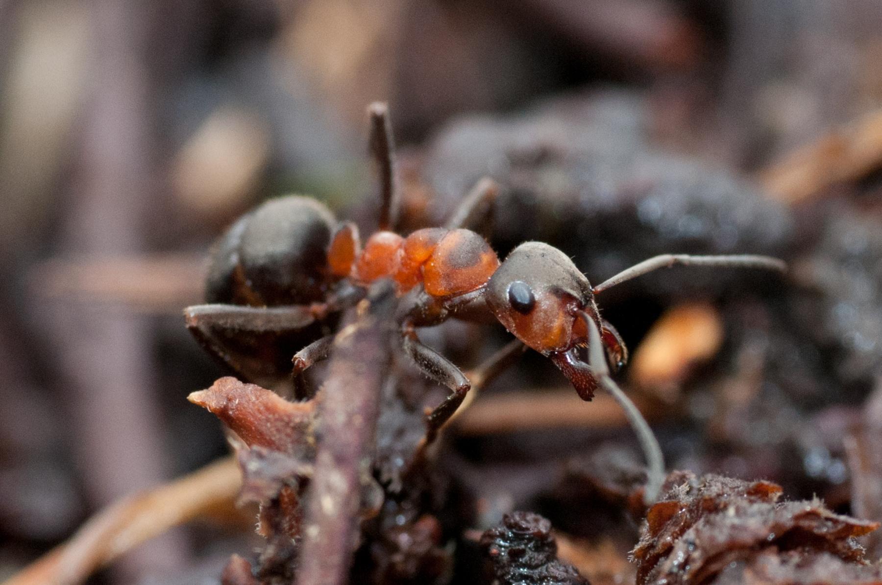 Formica rufa - Wood Ant , Longshaw NT