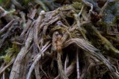 Lasius flavus, Clumber Park